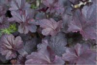 Heuchera 'Midnight Rose' (5242_0.jpg)