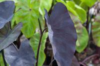 Colocasia esculenta 'Black Magic' (7112_0.jpg)