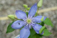 Clematis 'Blue Light' (7664_0.jpg)