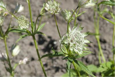 Astrantia major 'Shaggy' (153_1.jpg)