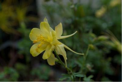 Aquilegia chrysantha 'Yellow Queen' (87_0.jpg)